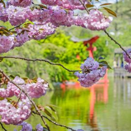 Cherry Blossoms and Other Flowers at the Brooklyn Botanic Garden